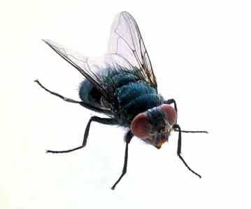 Sonhar com mosca