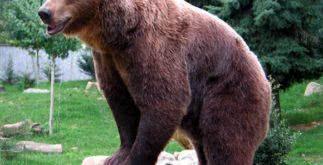 Sonhar com urso
