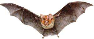 Morcego