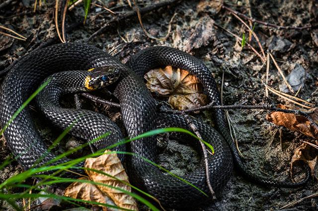 Cobra preta enrolada