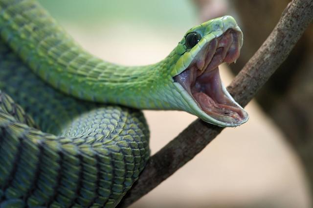 Cobra verde dando bote
