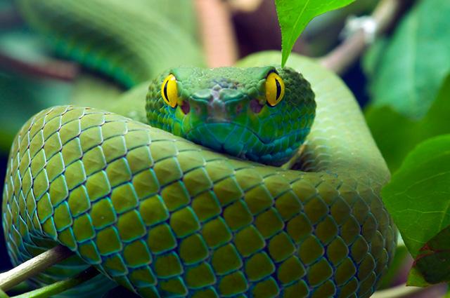 Cobra verde