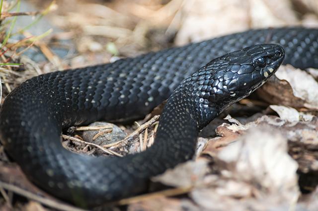 Cobra preta